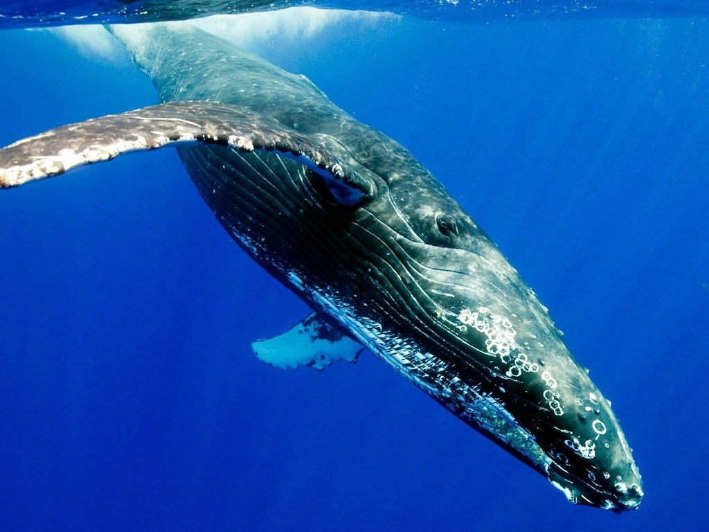 the-humpback-whale