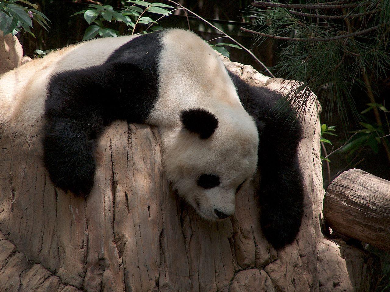 Panda odpoczywajaca