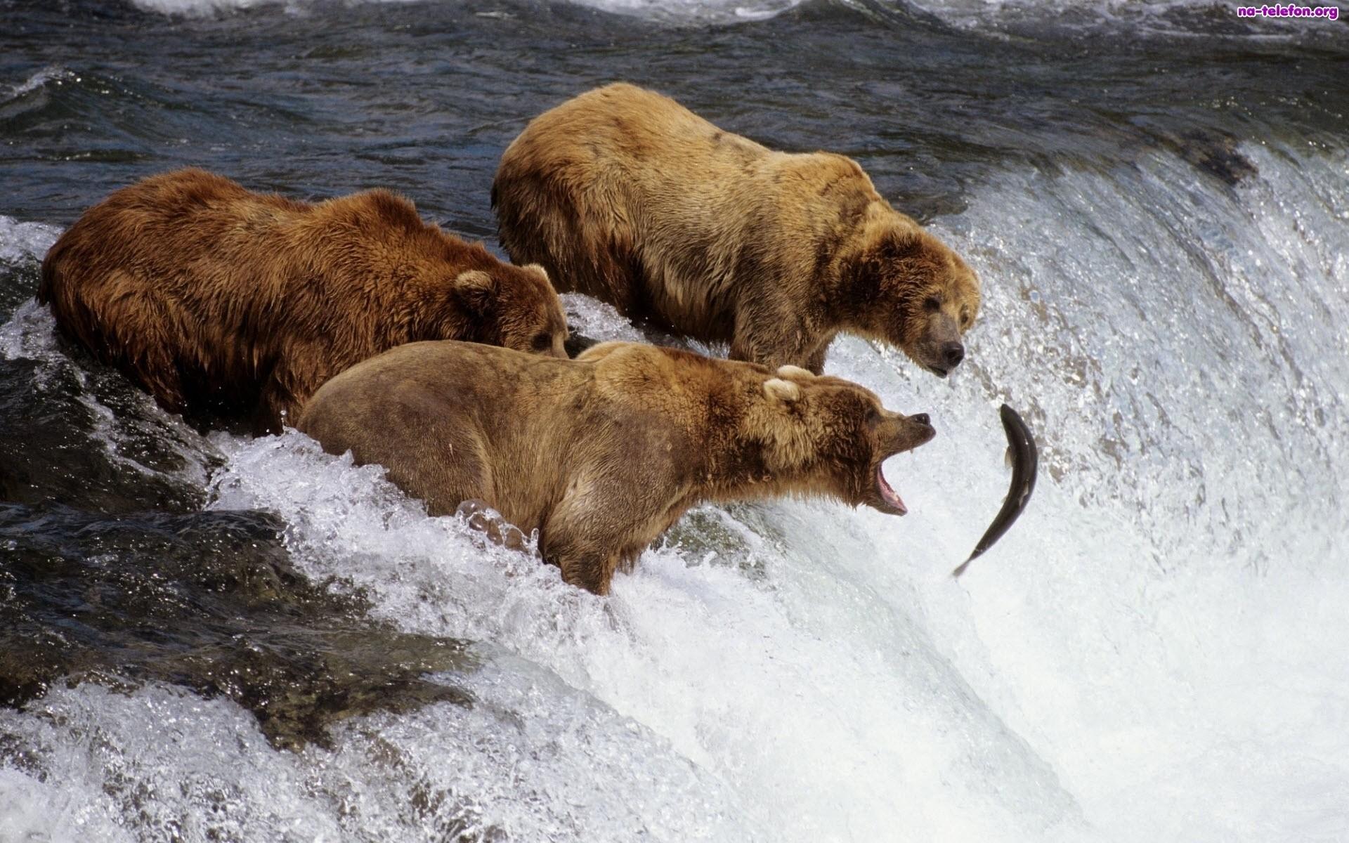 niedzwiedzie-polowanie-ryba-rzeka
